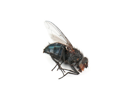 dead fly on white background photo