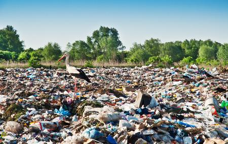 live stork on the dump