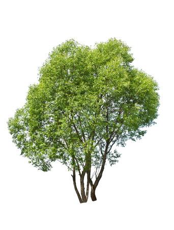 白い背景の上の緑の柳の木