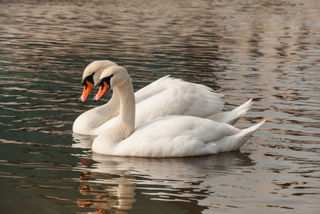 swimming swan: two swans floating on the water Stock Photo