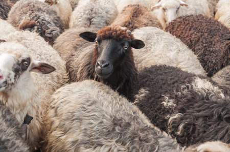 cute sheep in the herd looking into camera