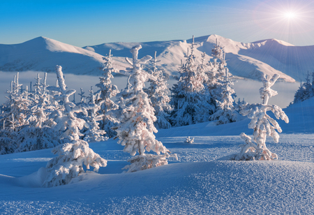 scenic  landscape: snow-covered firs in high mountains in winter