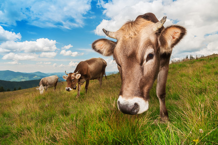looking into camera: cute brown cow looking into camera