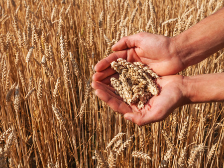 small plant: ripe ears of wheat in the hands Stock Photo