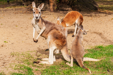 red animal: herd of three kangaroo