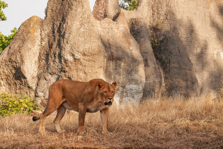 lioness: mature predatory lioness on dry grass