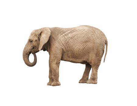 elephant trunk: adult elephant on white background Stock Photo