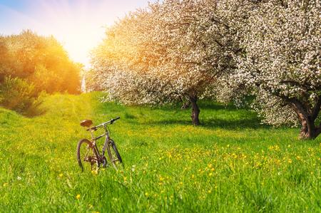 fiets in een bloeiende (bloeiende) appeltuin