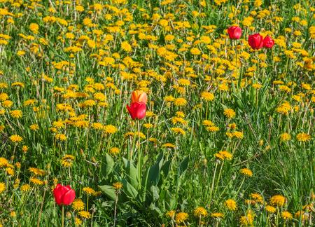 dandelion field: tulips in a lush dandelion field