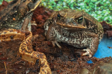 ugliness: live poisonous aga toad looking into camera