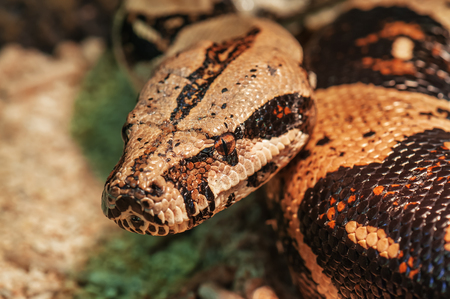 looking into camera: life african rock python looking into camera