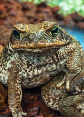 poisoned: live poisoned toad (aga) looking in the camera