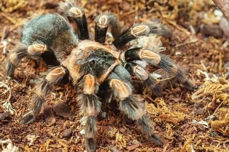predatory: live predatory mexican redknee tarantula Stock Photo