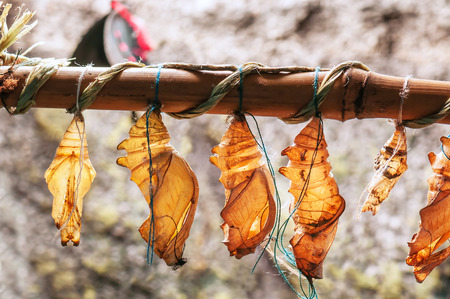 butterfly cocoons (pupa) hanging on a twig Stock Photo
