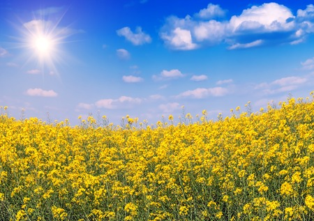 lush: lush rape field in sunlight Stock Photo