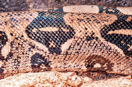 year of the snake: python skin as a texture Stock Photo