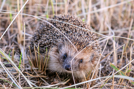 spiny: portrait of little live hedgehog Stock Photo