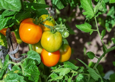 ripe yellow tomatoes on the bush Stock Photo