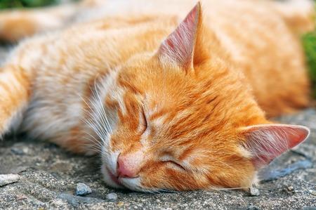 sleeping red cat. Animal theme Stock Photo