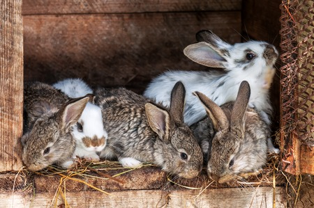 the hutch: small fluffy rabbits in the cage