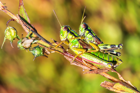 two grasshoppers (crickets) make love on the twig