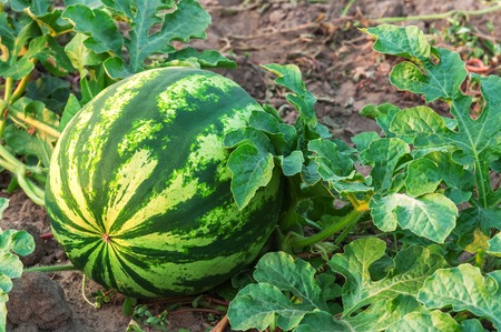 ripe and sweet watermelon on plantation