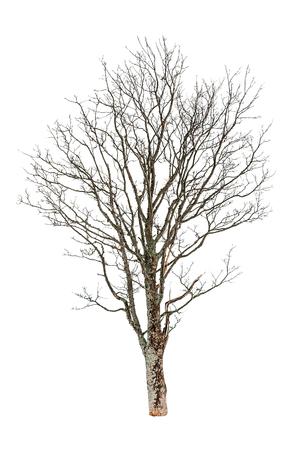 bare autumn beech tree isolated on white Stock Photo