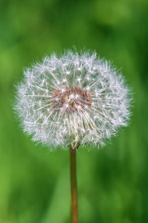 fluffy dandelion against green background Stock Photo
