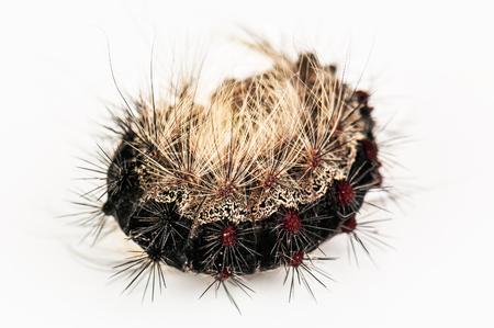 hairy caterpillar on white background Stock Photo