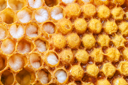 beeswax: honeycomb with bee larvae as a texture