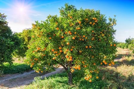 bujne drzewo pomarańczowe z soczystymi owocami w ogrodzie pod działaniem promieni słonecznych