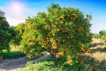 lush orange tree with juicy fruits in the garden under sunlight Banco de Imagens