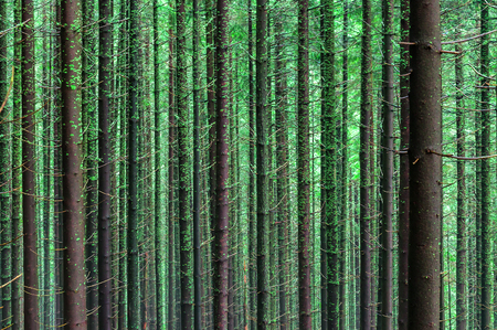 oak trees: coniferous tree in the forest as a texture (wallpaper) Stock Photo