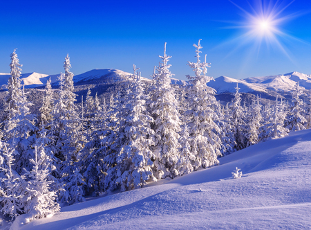 snow cowered firs in winter mountains under blue sky and sun Stock Photo