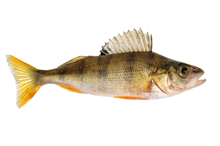 perch fish isolated on white