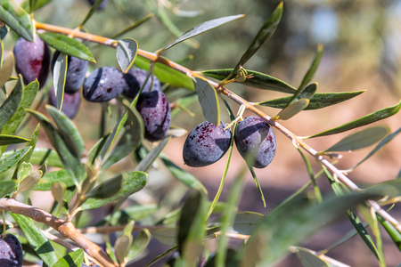 black delicious olives on the twig