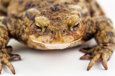 live toad (frog )on white background Stock Photo