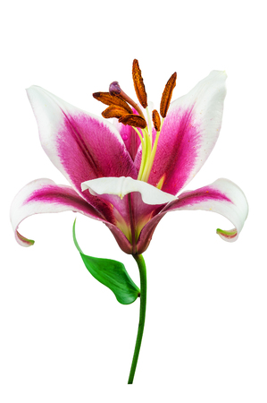 purple lilly flower isolated on white