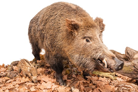 live boar with piglets isolated on white