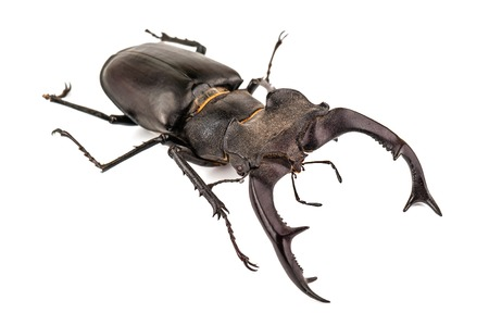 a beetle-deer (stag beetle) male isolated on white