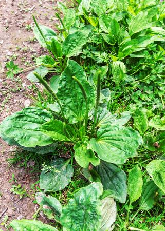bush of green plantain in the soil 写真素材