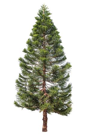 Norfolk dennenboom of Araucaria dennenboom geïsoleerd op wit