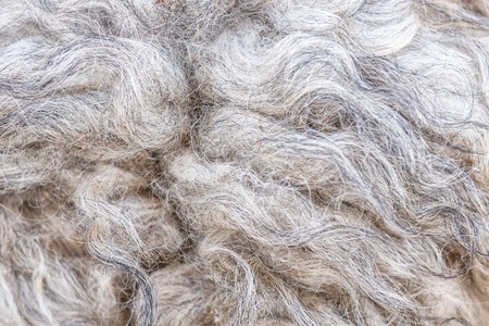 grey sheep wool as a texture Stock Photo