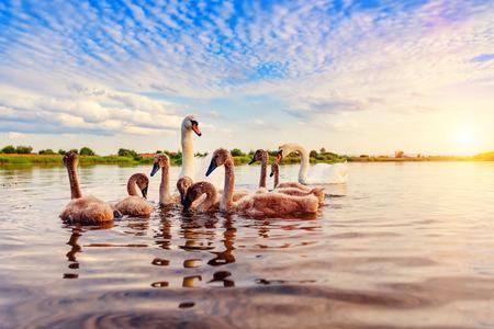 familly of swans on the lake at sunset (sunrise) Stock Photo