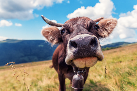 happy brown cow on the pasture in the moutains