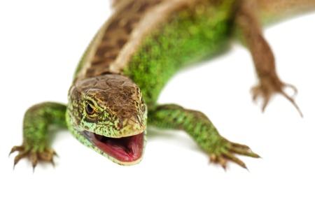 green common lizard with opened mouth isolated on white