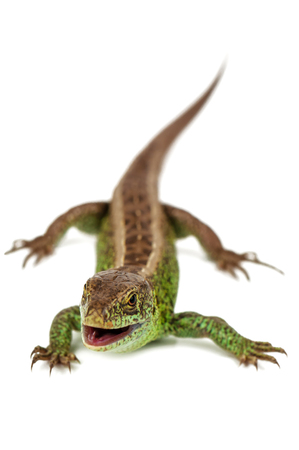 green live common lizard with opened mouth isolated on white