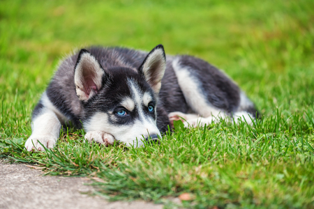 Cute blue-eyed husky puppy is on the green grass