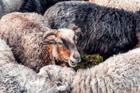 cute live sheep in the herd Stock Photo