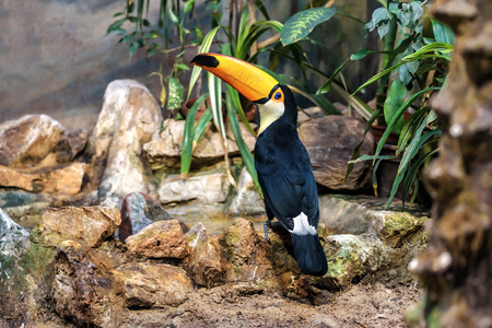 live Toco Toucan standing on the stone